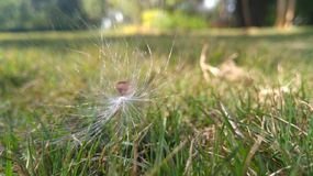 Appooppan Thadi ( Indier milkweed) Arkivbilder
