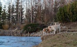 Apportör för två ljus gul labradors och en beagle royaltyfria foton