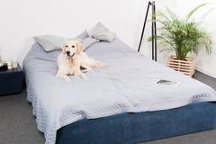 Apportörhund med den digitala minnestavlan som ligger på säng royaltyfria bilder