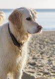 Apportörhund som är våt på den sandiga stranden i vintersol Royaltyfri Bild