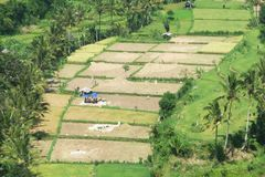 Apportant la récolte dans Bali, l'Indonésie Image libre de droits