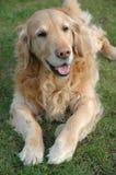 Apportierhund Lizenzfreies Stockbild