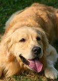 Apportierhund Lizenzfreie Stockfotografie