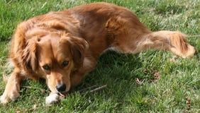 Apportierhund Stockfotografie
