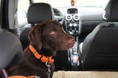 Apportierhund Brown-Labrador Lizenzfreie Stockfotos