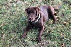 Apportierhund Brown-Labrador Lizenzfreies Stockbild