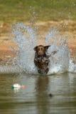 Apportierhund Brown-Labrador springt in das Wasser Stockbild
