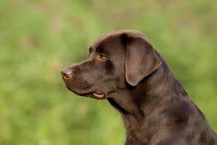 Apportierhund-Frau Brown-Labrador Lizenzfreie Stockfotografie