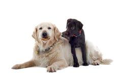 Apportierhund- und Labrador-Welpe lizenzfreies stockfoto