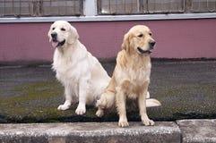 Apportierhund zwei, der dort sitzt stockbild
