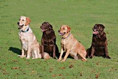 Apportierhunde Lizenzfreie Stockbilder