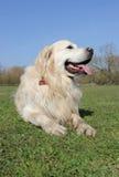 Apportierhundhund, der auf Gras legt Lizenzfreie Stockbilder
