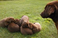 Apportierhundhundesänfte Brown-Labrador der Welpen Lizenzfreies Stockbild