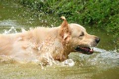 Apportierhundspritzen Lizenzfreie Stockfotos