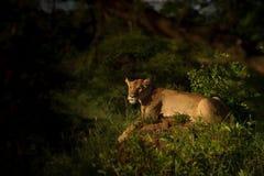 Appostamenti della leonessa per la preda nel crepuscolo Fotografie Stock