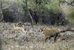 Appostamenti della tigre su un cervo macchiato Immagine Stock Libera da Diritti