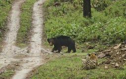 Appostamenti della tigre sull'orso di Sloat nell'uguagliare le ore Immagini Stock Libere da Diritti