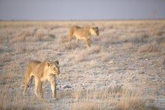 Appostamenti di paia della leonessa Immagine Stock Libera da Diritti