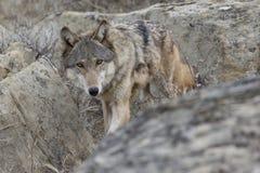 Appostamenti femminili del lupo attraverso le rocce Fotografia Stock Libera da Diritti
