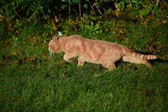 Appostamenti smarriti del gatto di gatto Fotografia Stock Libera da Diritti