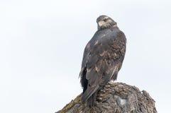 Appostarsi del falco Fotografia Stock Libera da Diritti