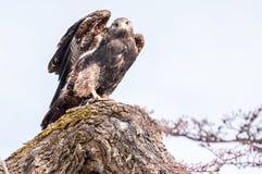 Appostarsi del falco Fotografia Stock