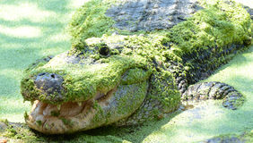 Appostarsi dell'alligatore americano Immagini Stock
