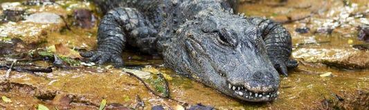 Appostarsi dell'alligatore cinese Fotografia Stock
