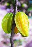 Appple плодоовощ или звезды карамболы на тропическом дереве на стоковое изображение