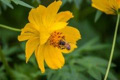 Apprécier le nectar photos libres de droits