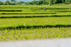 Appréciez la promenade au gisement de riz image libre de droits