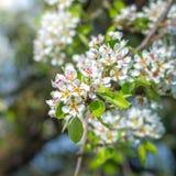 Appréciez le goût - fron de fleurs un pommier photos libres de droits
