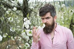 Appréciez le printemps Fleurs de cerisier barbues d'odeur d'homme Homme avec la longue barbe et moustache sur le visage sérieux L photographie stock
