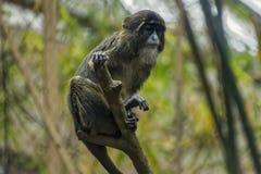 Apprehensive Monkey. An apprehensive monkey in captivity Stock Photos