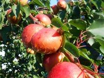 Appricot Arkivfoton