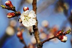 Appricot blomma Arkivbilder