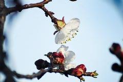 Appricot blomma Fotografering för Bildbyråer