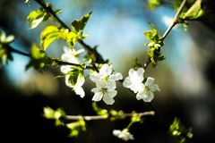 Appricot blomning Arkivfoton