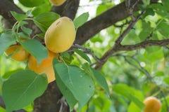 Appricots en un árbol fotografía de archivo