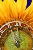 Approach of midnight. Abstract idea. Sunflower with clock Stock Photography