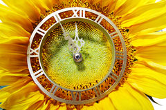 Approach of New Year. Sunflower-clock indicative approach of noonday Royalty Free Stock Photos