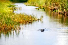 Alligator. Approaching Alligator swimming in river in Everglades National Park royalty free stock photo