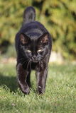 Approaching black cat Royalty Free Stock Image