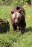 Approaching brown bear Royalty Free Stock Image
