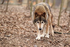 Approaching common wolf Royalty Free Stock Photos