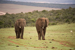Approaching Elephants Royalty Free Stock Photography