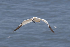 Approaching gannet. A flying gannet approaches over the ocean carrying some straws for nesting Stock Photos