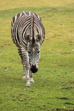 Approaching grant's zebra. The approaching grant's zebra in the grassland Royalty Free Stock Photos