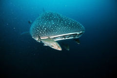 Approaching head of whale shark. Closeup of whale shark approacing to scuba diver Royalty Free Stock Photos
