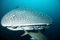 Approaching head of whale shark Royalty Free Stock Images